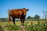 bull grazing and looking - 213851300
