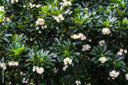 Plexiglas Plumeria yellow and white plumeria flower