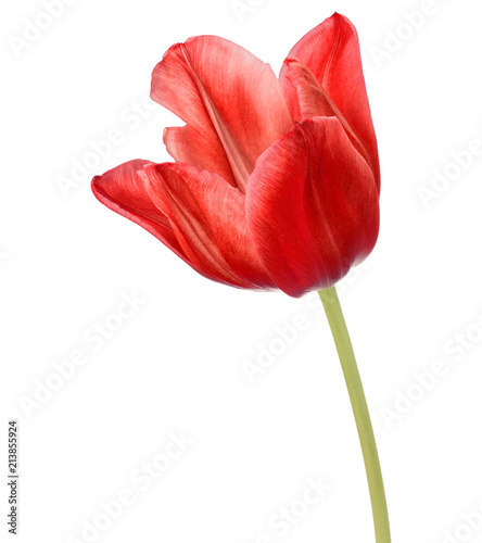 Foto Murales red tulip flower head isolated on white background