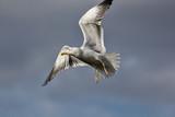 Seagull in flight. Gull flying against plain sky background. - 213859501