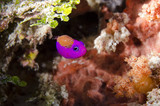 Parasite attacking tropical fish in coral reef - 213862187