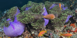 Clownfish in Coral Reef - 213862779
