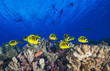 Yellow fish under divers