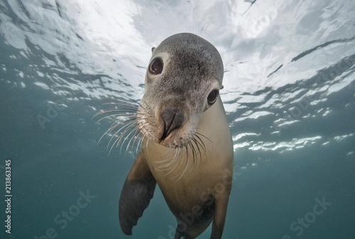 Foto Murales Underwater Seal