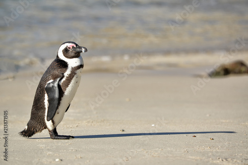 Canvas Pinguin African penguin walking on Boulders Beach near Cape Town, South Africa