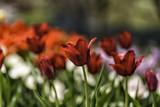 Tulips are beautiful - 213885322