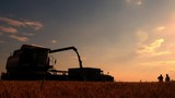 Harvester combine pours the grain into the truck on the field. Threshing machine pouring the just harvested wheat into a silo. - 213887378