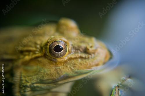 Foto Spatwand Kikker closeup frog, frog in the water