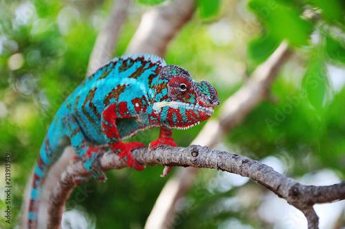 Plexiglas Kameleon chamaeleon furcifer pardalis