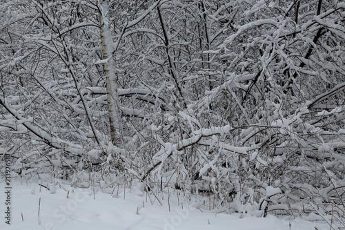 Plexiglas Berkenbos winter background
