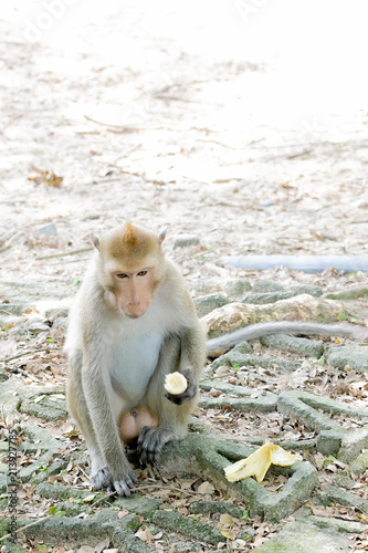 Fotobehang Aap A macaca monkey eating banana on ground at the zoo.