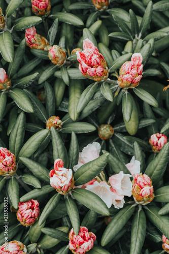 In de dag Azalea Beautiful Rhododendron flowers in the beginning of blossom