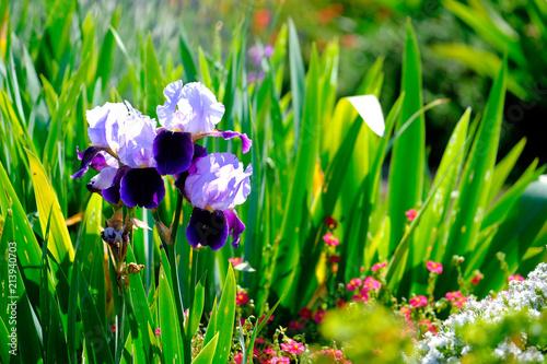 Fotobehang Iris iris and lavender