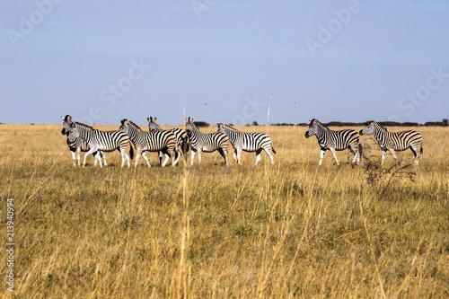 Fototapeta Damara zebra herd, Equus burchelli antiquorum, in tall grass in Makgadikgadi National Park, Botswana