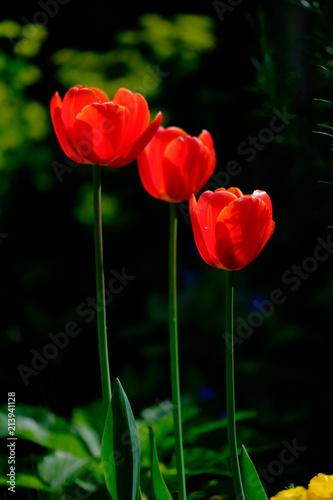 Fototapeta three tulips