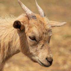 Portrait of a ram in a pasture