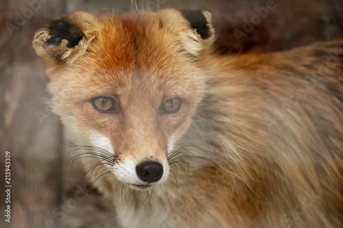 Fototapeta Fox on the fence in the zoo