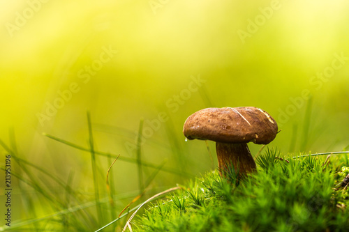 Small brown mushroom in moss on vivid green background. Wet from morning dew or rain.  Amazing natural scene. Macro and detailed photo.