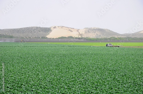 Foto Spatwand Olijf Landscape of green farm field in California, United States