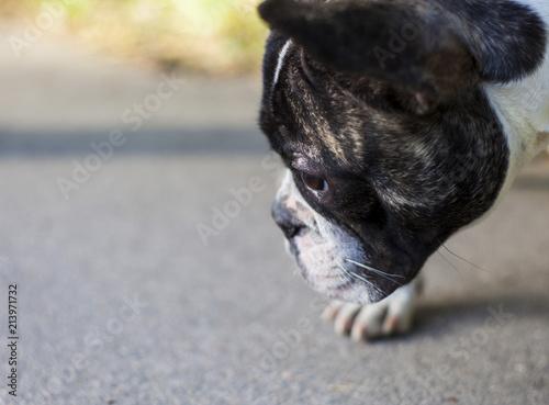 Foto Spatwand Franse bulldog Black and white french bulldog portrait in daylight