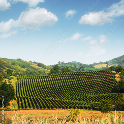 Fotobehang Wijngaard Amazing rural landscape with green vineyard on Italy hills. Vine making background