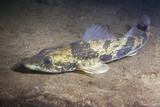 Freshwater fish Zingel (Zingel zingel) in the beautiful clean river. Underwater shot in the danube river. Wild life animal. Zingel in the nature habitat with nice background. Live in the river. - 214000513