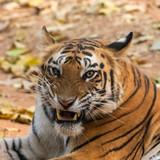 tiger  snarling ears back - close up portrait