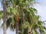 Green Palm Canarian Tree - 214037391