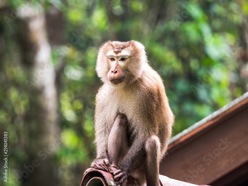 In de dag Aap A wild monkey sitting on the roof at Khao Yai National Park, Thailand