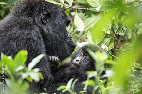 Foto Murales A baby gorilla sitting on the back of its parent in the rwandan jungle