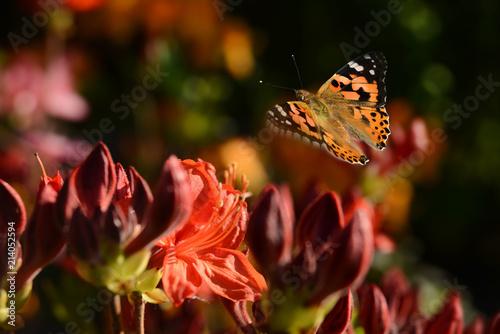 Foto Spatwand Azalea Schmetterling 493