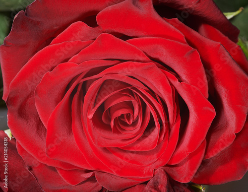 Head of red rose, closeup