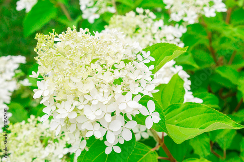 Blooming hydrangea small white flowers and green leaves on the bush small white flowers and green leaves on the bush decorative garden plant mightylinksfo