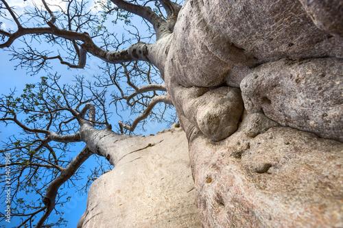 Foto Spatwand Baobab The trunk of a Baobab tree as seen from below.