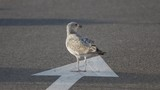 A seagull walking on the road near the beach in france.Shot with a Canon 100-400mm. - 214074949