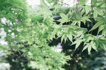Japanese maples leaves with vintage film style