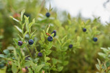 Blueberry bushes in the forest - 214087551