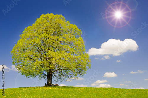 Foto Murales Große alte Linde in Frühlingswiese mit Sonnenstrahlen