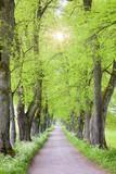 Baumallee mit vielen Lindenbäumen und Sonnenstrahlen - 214089140