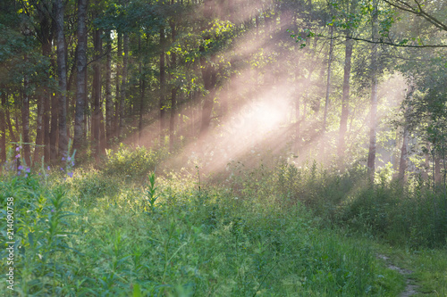 Pink mist in a sunny forest