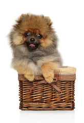 Spitz puppy in wicker basket on white background