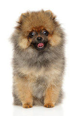 Spitz puppy on white background
