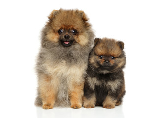 Spitz puppies on white background