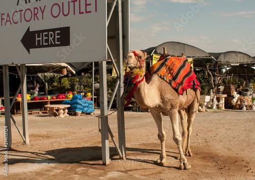 Fotobehang Kameel A camel near big-board