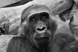 Gorilla - 214129386
