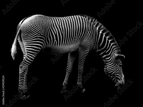 Fototapeta Zebra on Black