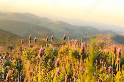 Foto Spatwand Honing Sao Paulo, Wedge , Brazil, Lavender, Flower, Laundry Rio de Janeiro, Angra dos Reis, cloud, nature, Cunha