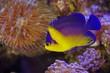 Quadro サンゴ礁を泳ぐスミレヤッコ