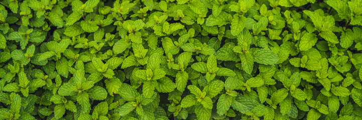 Peppermint plantation organic for background, Fresh mint growing at vegetables planting area BANNER long format © galitskaya