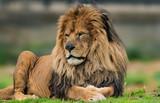 Male lion portrait.  - 214181113